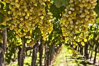 Chardonnay, variedad uva