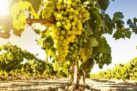 Uva verdejo, uva vino blanco