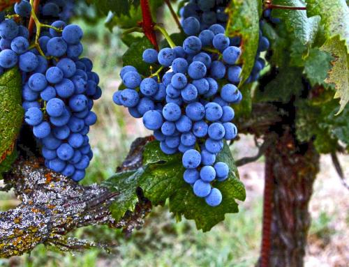 Uva Graciano, el punto diferencial de los vinos riojanos