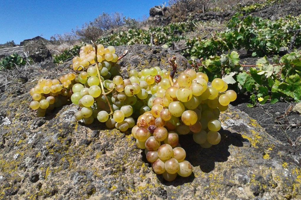 Malvasía, tipo de uva