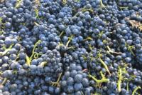 Pinot Noir, tipos de uva