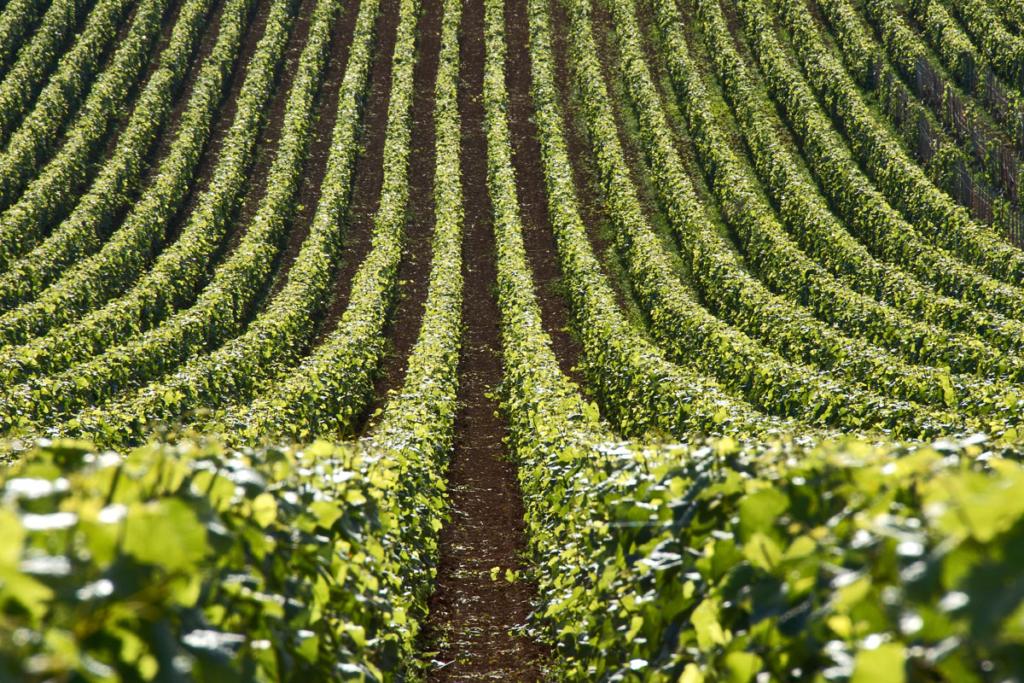 Pinot Noir, tipos de uva, viñedos