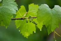 Sostenibilidad en producción vinícola, hoja riñedo