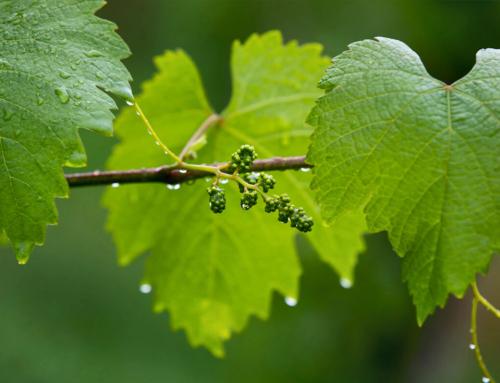 Sostenibilidad en producción vinícola