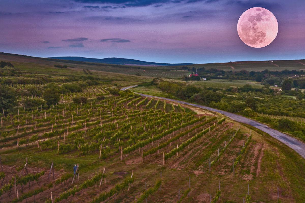 Luna, vino y cosecha